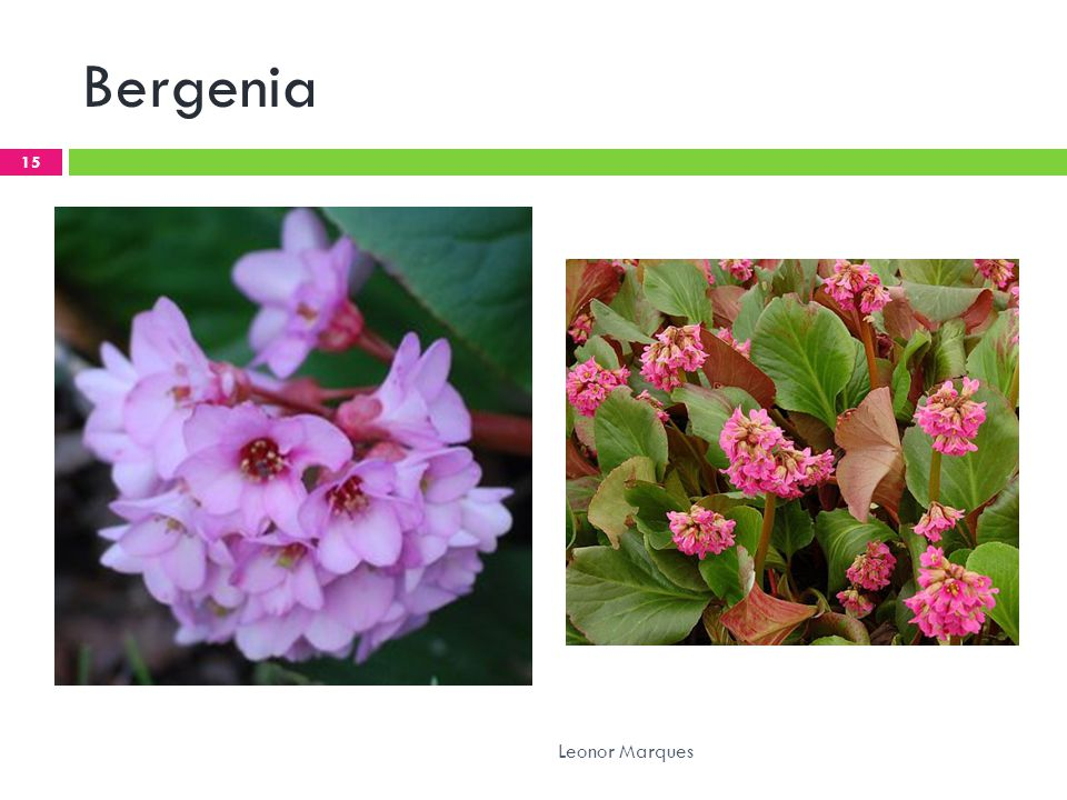 Bergenia Leonor Marques