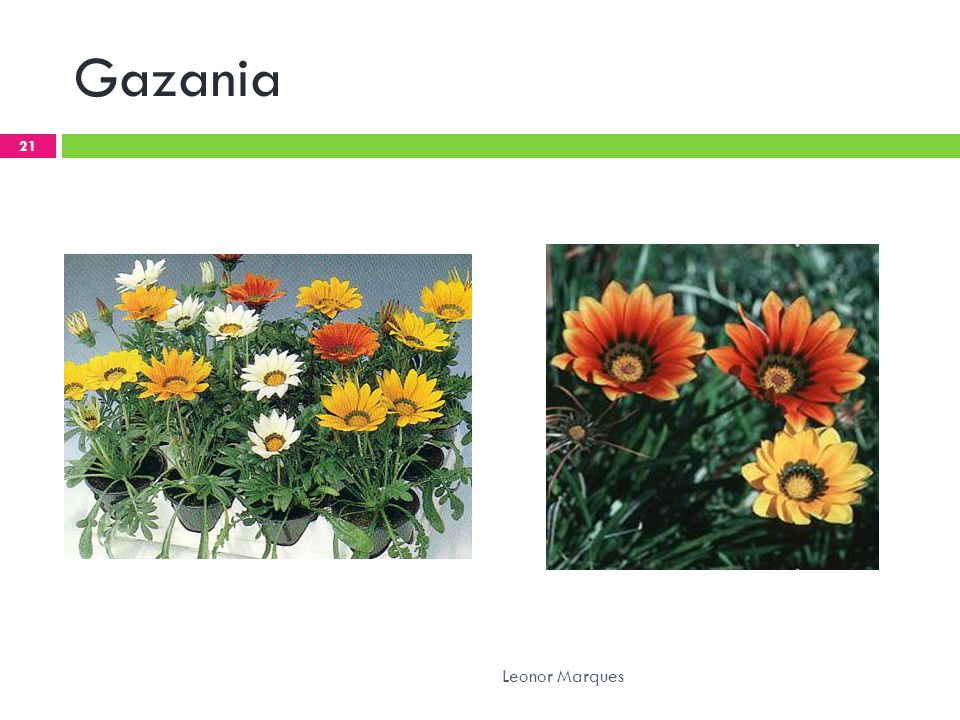 Gazania Leonor Marques