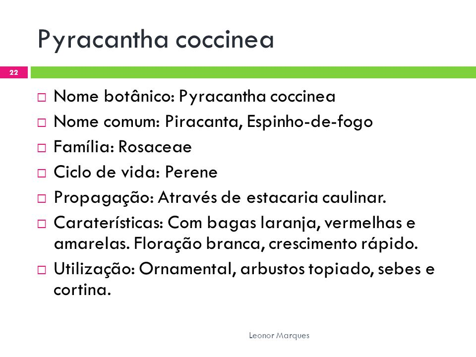 Pyracantha coccinea Nome botânico: Pyracantha coccinea