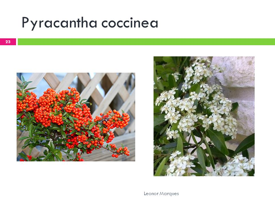 Pyracantha coccinea Leonor Marques