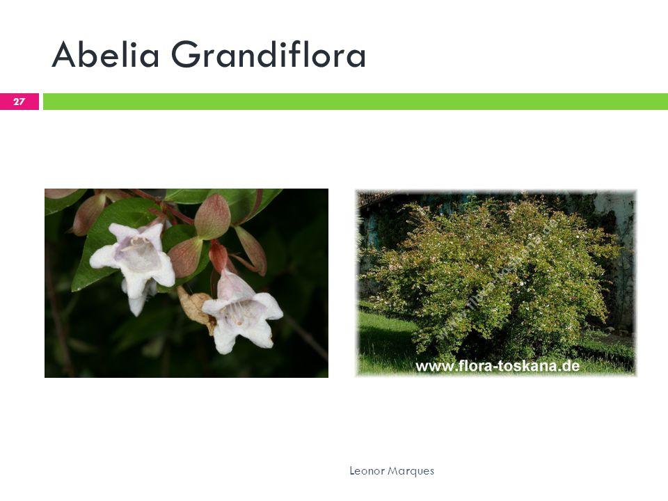 Abelia Grandiflora Leonor Marques