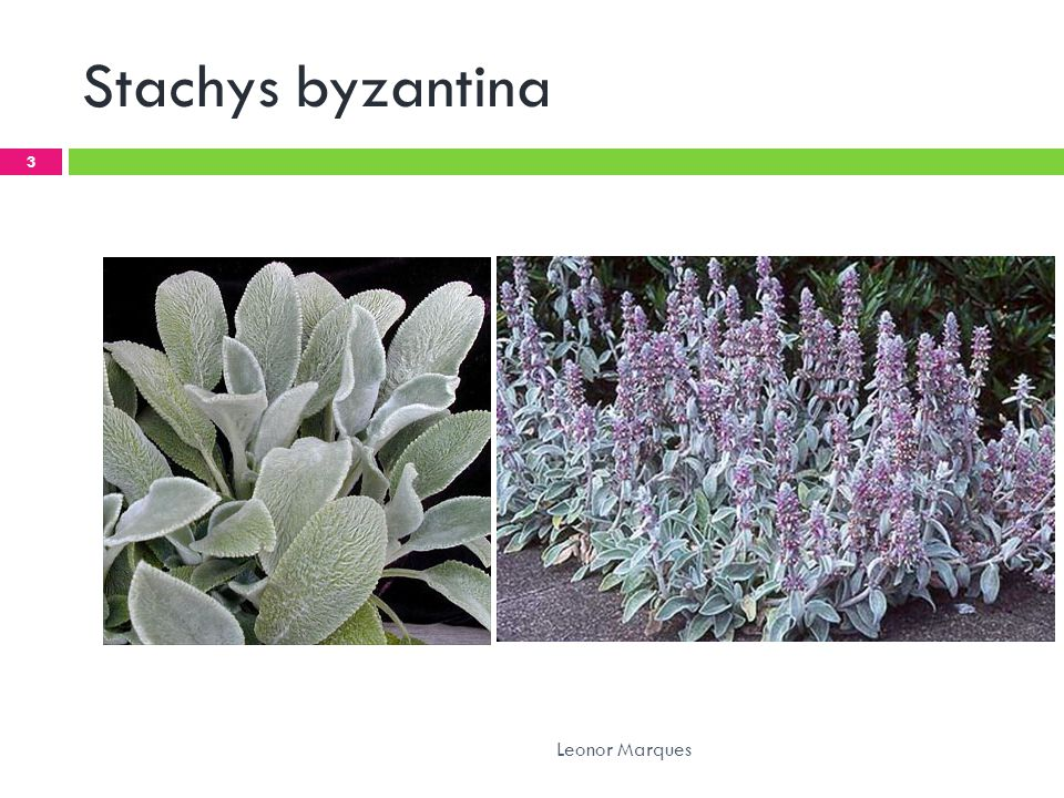 Stachys byzantina Leonor Marques