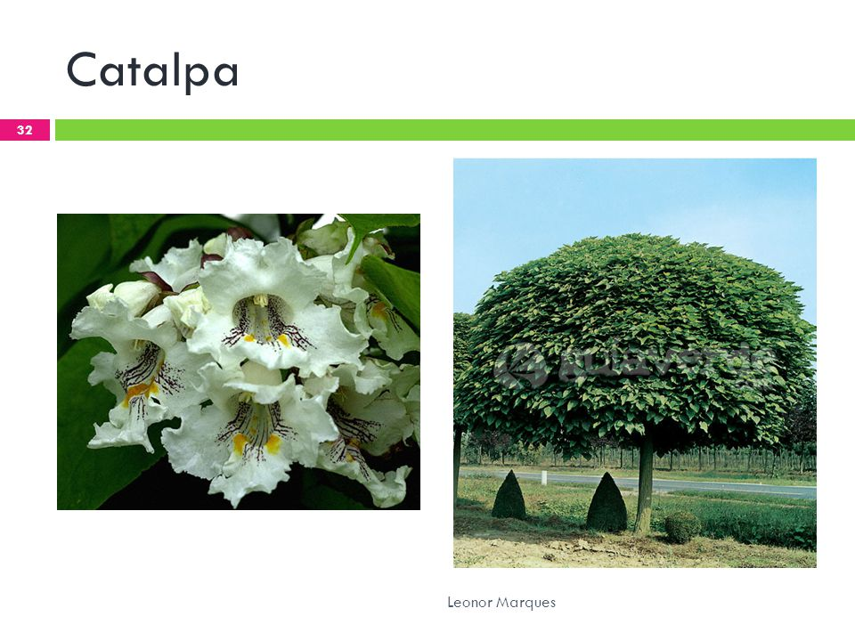 Catalpa Leonor Marques