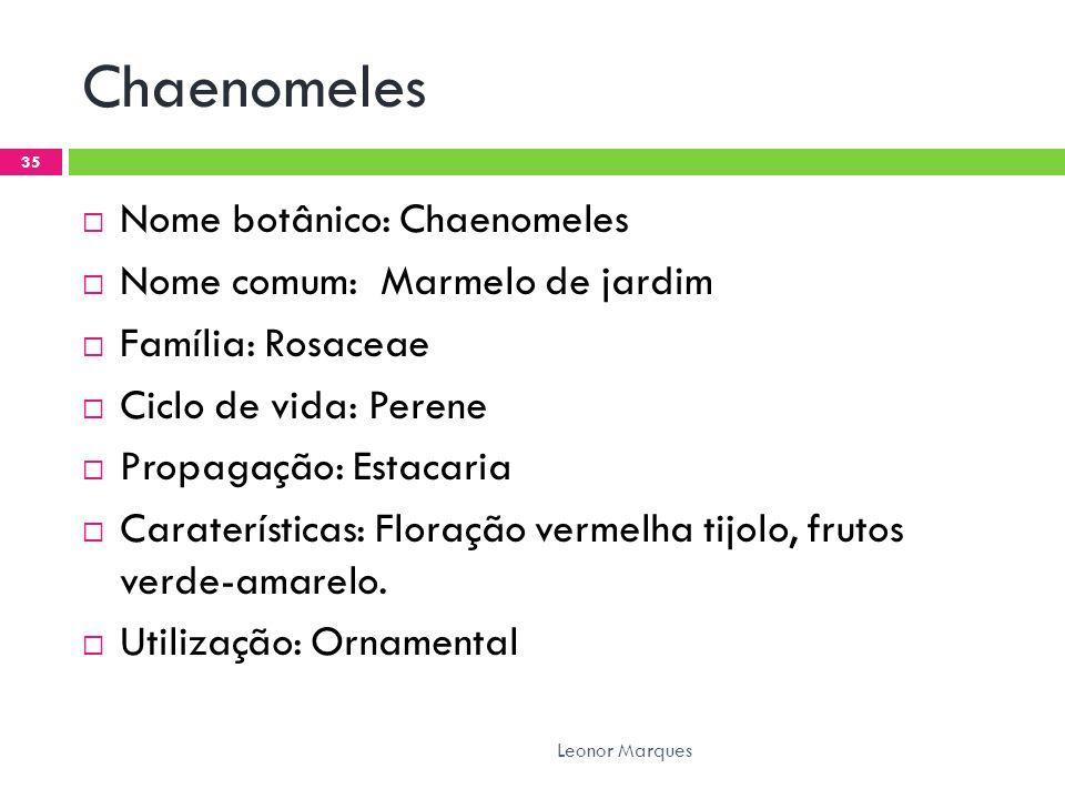 Chaenomeles Nome botânico: Chaenomeles Nome comum: Marmelo de jardim