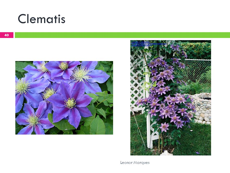 Clematis Leonor Marques
