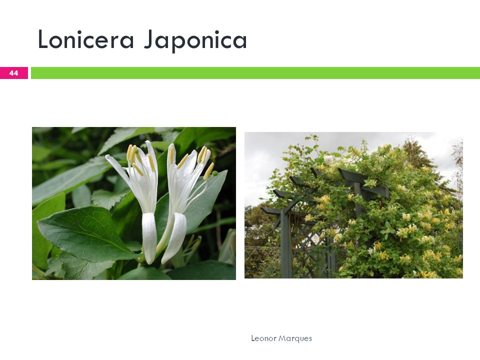 Lonicera Japonica Leonor Marques