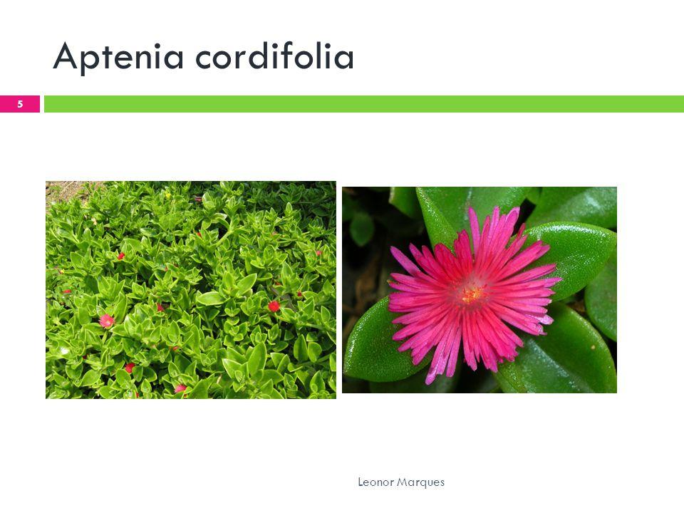 Aptenia cordifolia Leonor Marques