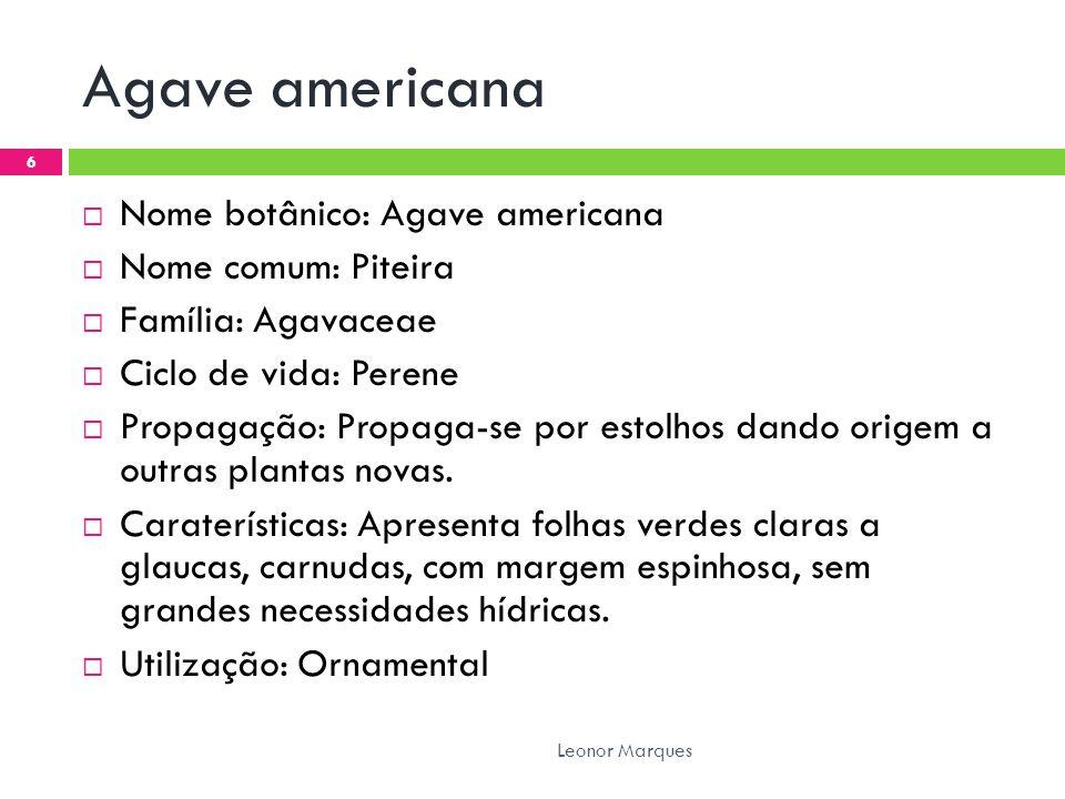 Agave americana Nome botânico: Agave americana Nome comum: Piteira