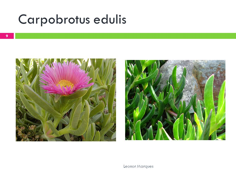 Carpobrotus edulis Leonor Marques