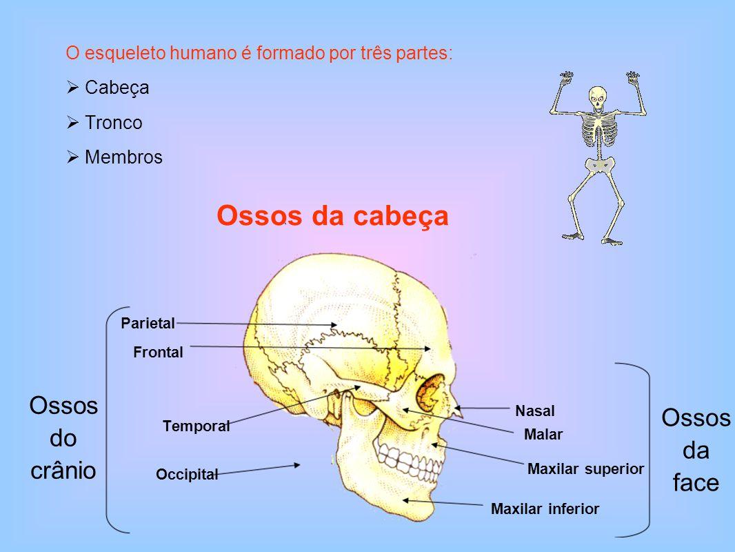 Ossos da cabeça Ossos do crânio Ossos da face