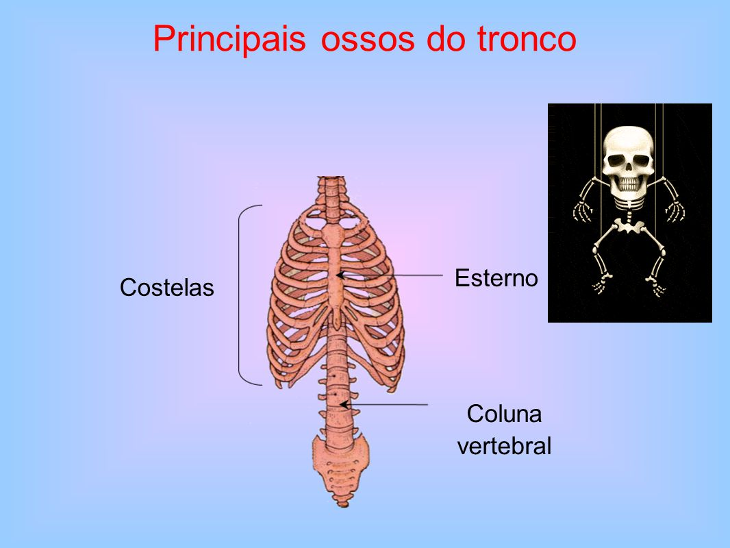 Principais ossos do tronco