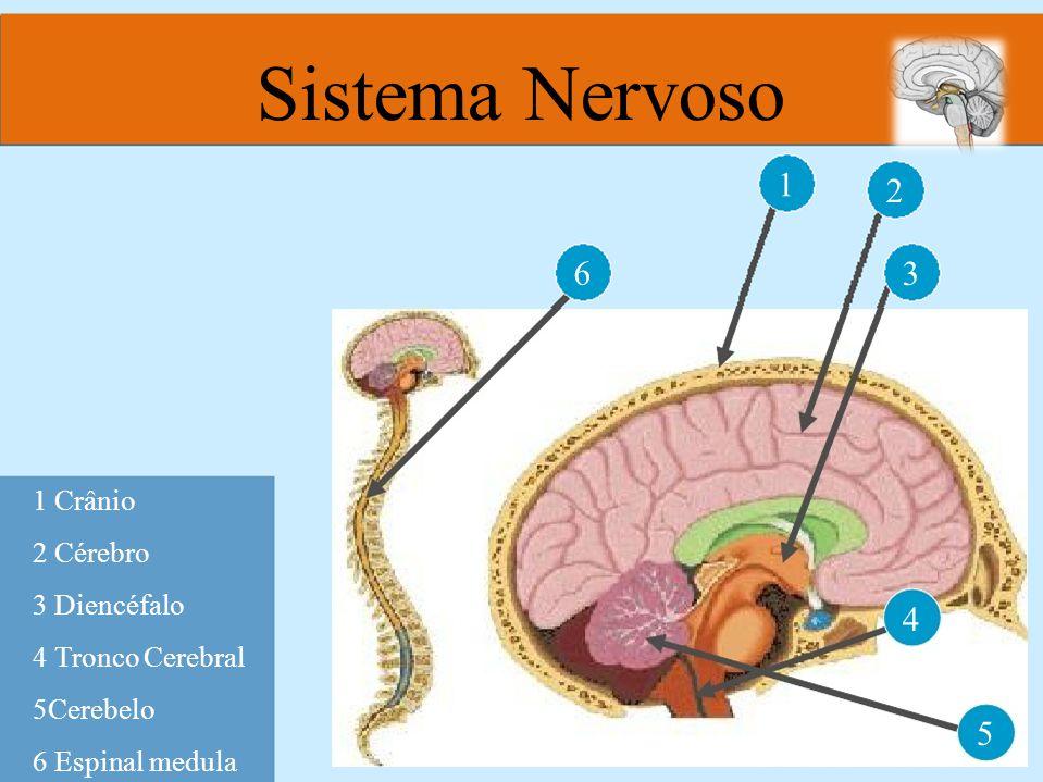 Sistema Nervoso 1 2 3 6 4 5 1 Crânio 2 Cérebro 3 Diencéfalo