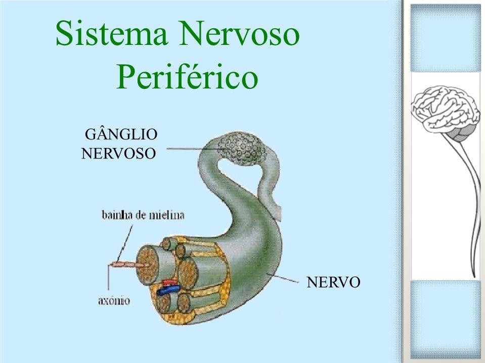 Sistema Nervoso Periférico GÂNGLIO NERVOSO NERVO