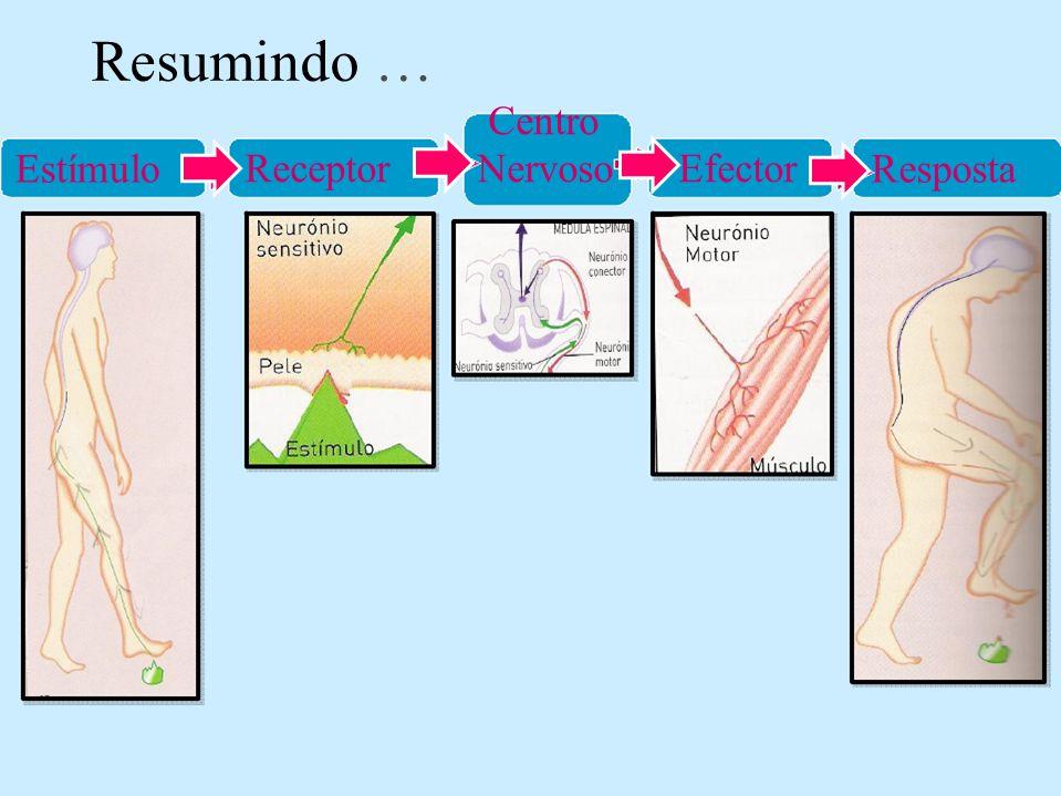 Resumindo … Centro Receptor Nervoso Efector Estímulo Resposta