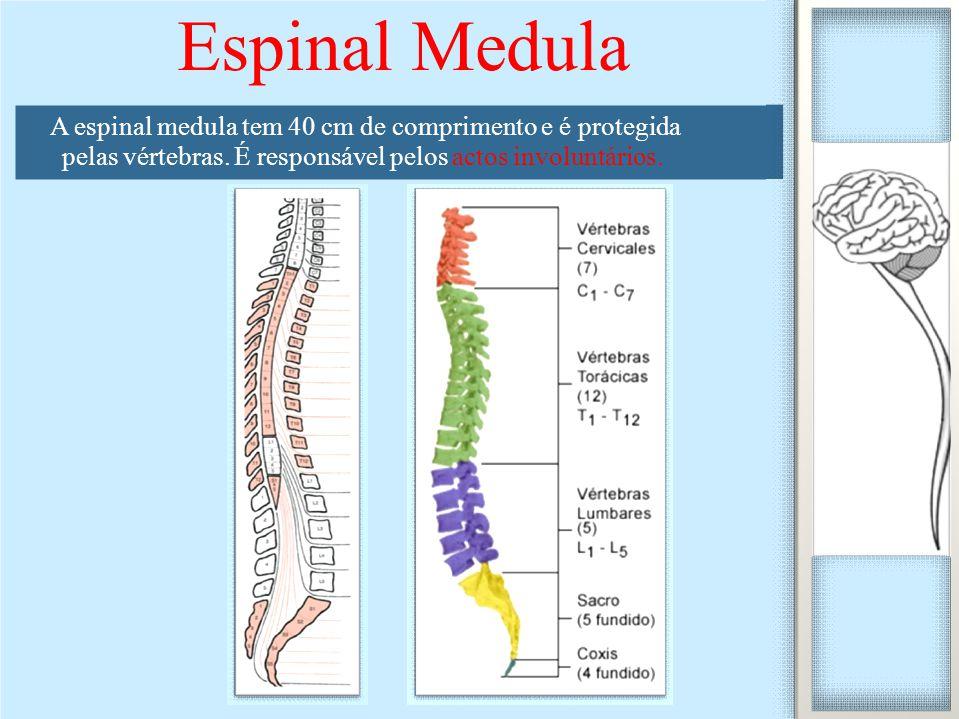 Espinal Medula A espinal medula tem 40 cm de comprimento e é protegida