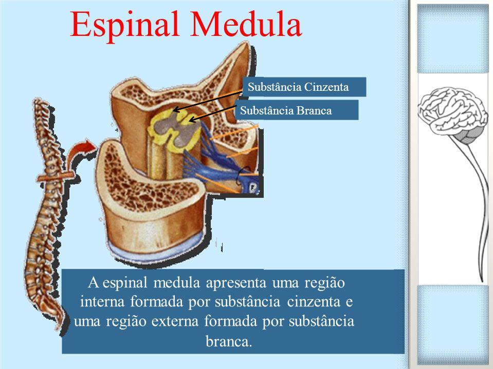 Espinal Medula interna formada por substância cinzenta e