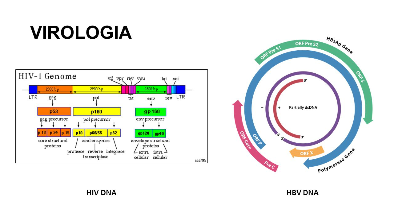 VIROLOGIA HIV DNA HBV DNA
