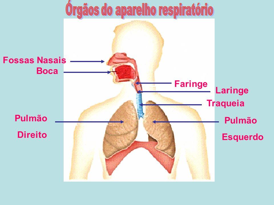 Órgãos do aparelho respiratório