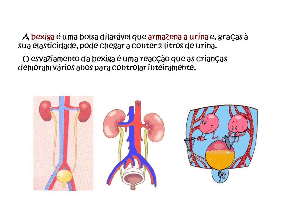 A bexiga é uma bolsa dilatável que armazena a urina e, graças à sua elasticidade, pode chegar a conter 2 litros de urina.