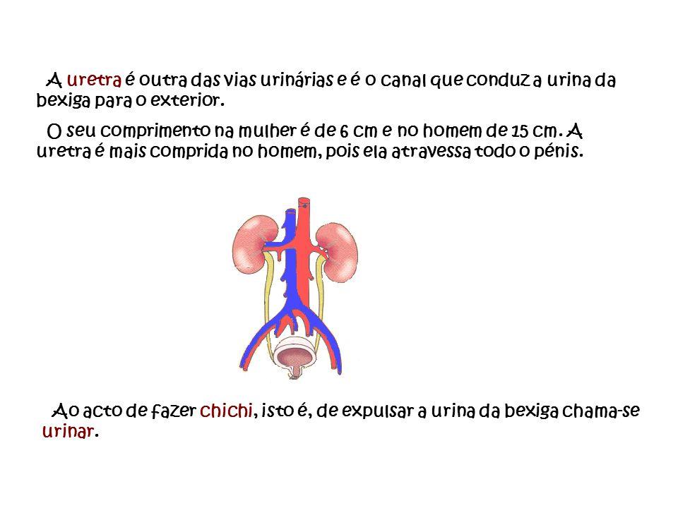 A uretra é outra das vias urinárias e é o canal que conduz a urina da bexiga para o exterior.
