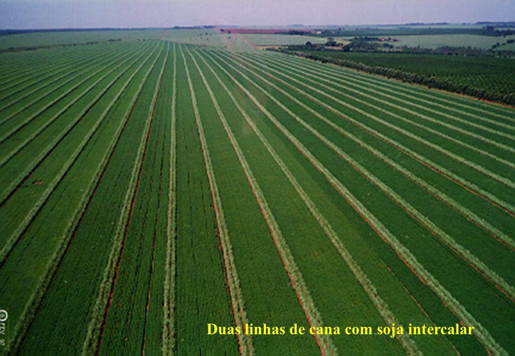 Duas linhas de cana com soja intercalar