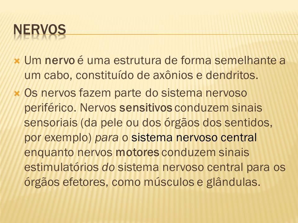 Nervos Um nervo é uma estrutura de forma semelhante a um cabo, constituído de axônios e dendritos.