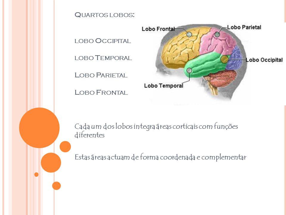 Quartos lobos: lobo Occipital lobo Temporal Lobo Parietal Lobo Frontal