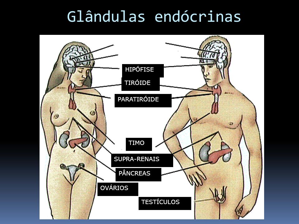 Glândulas endócrinas HIPÓFISE TIRÓIDE PARATIRÓIDE TIMO SUPRA-RENAIS