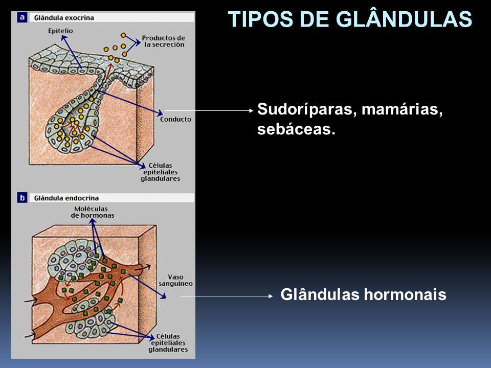 TIPOS DE GLÂNDULAS Sudoríparas, mamárias, sebáceas.