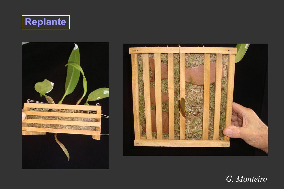 Replante G. Monteiro 17
