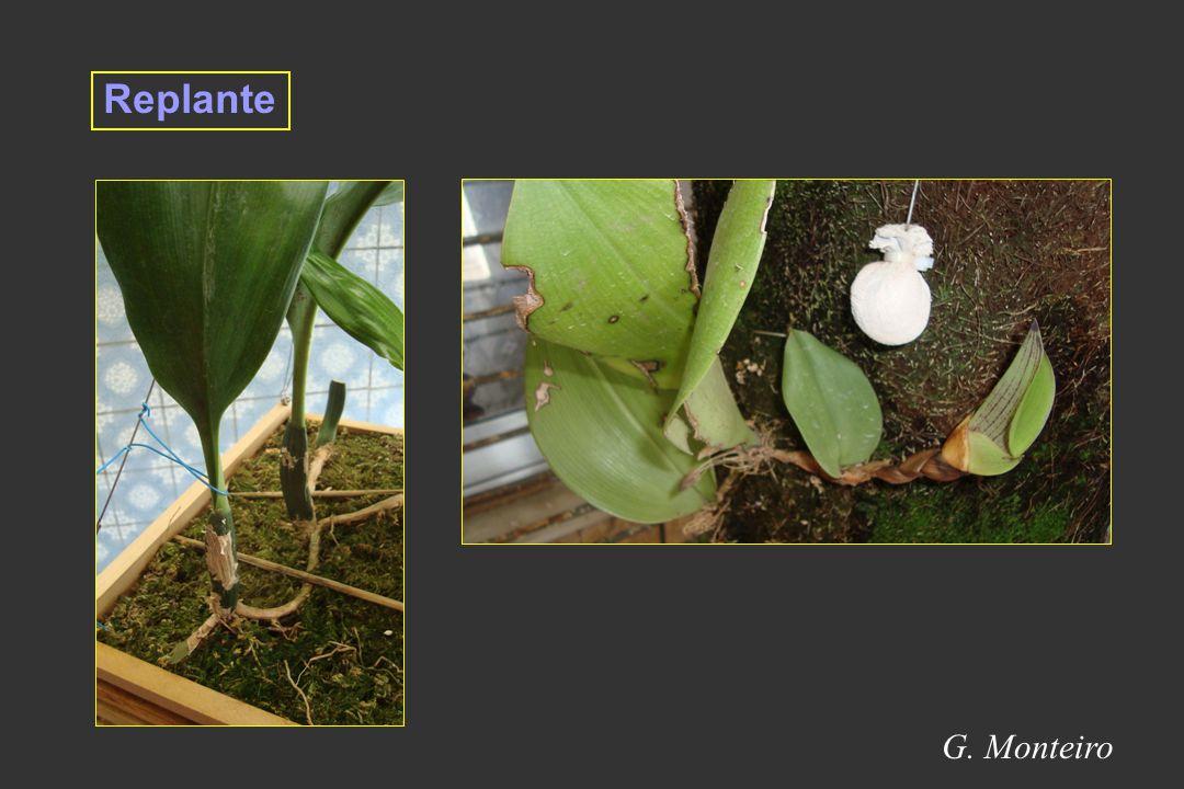Replante G. Monteiro 19