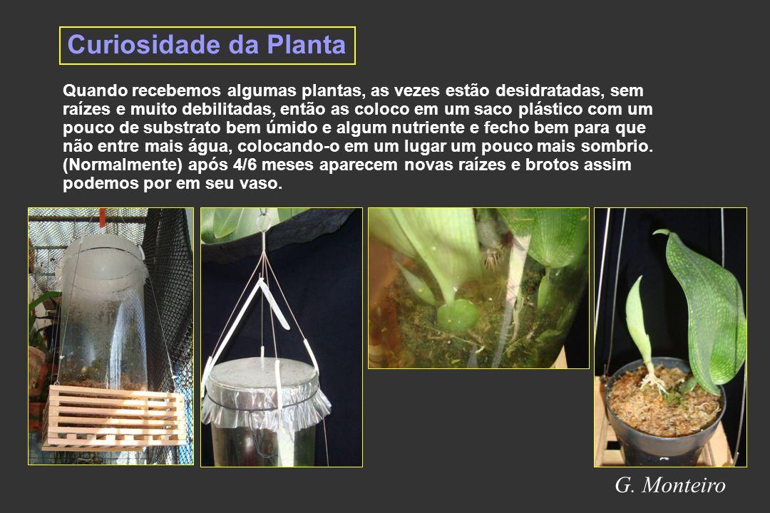Curiosidade da Planta G. Monteiro