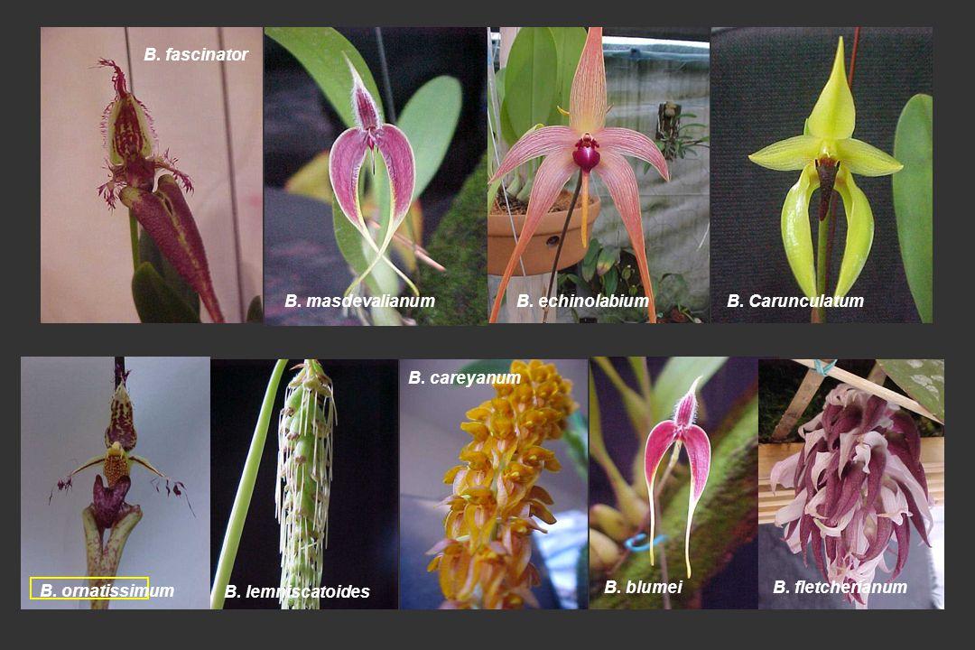 B. fascinator B. masdevalianum. B. echinolabium. B. Carunculatum. B. ornatissimum. B. lemniscatoides.