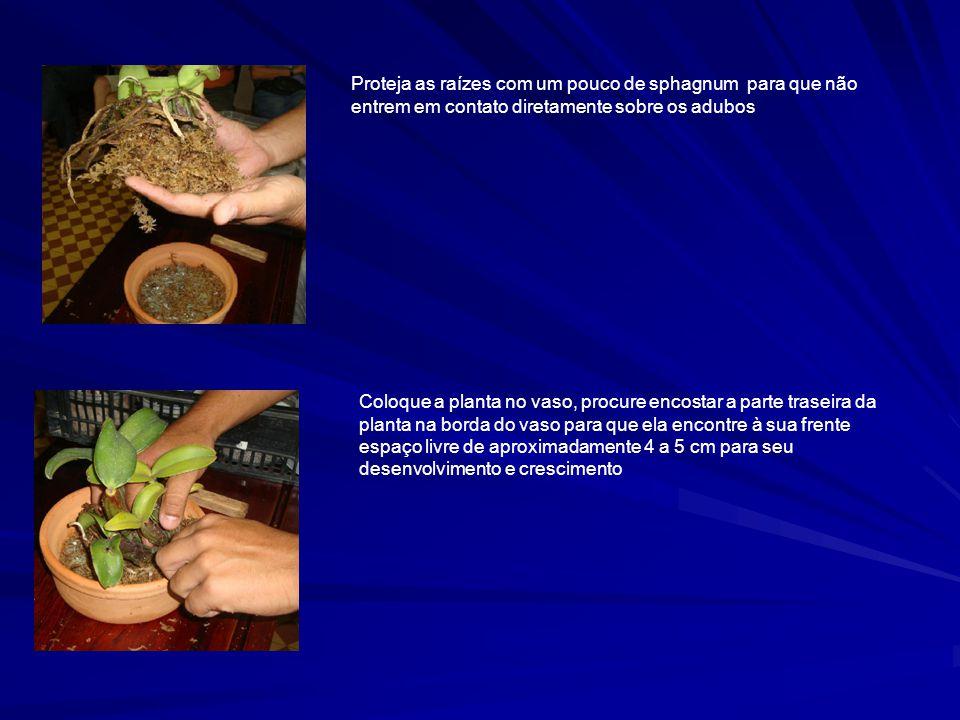 Proteja as raízes com um pouco de sphagnum para que não entrem em contato diretamente sobre os adubos
