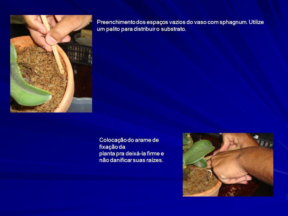 Preenchimento dos espaços vazios do vaso com sphagnum