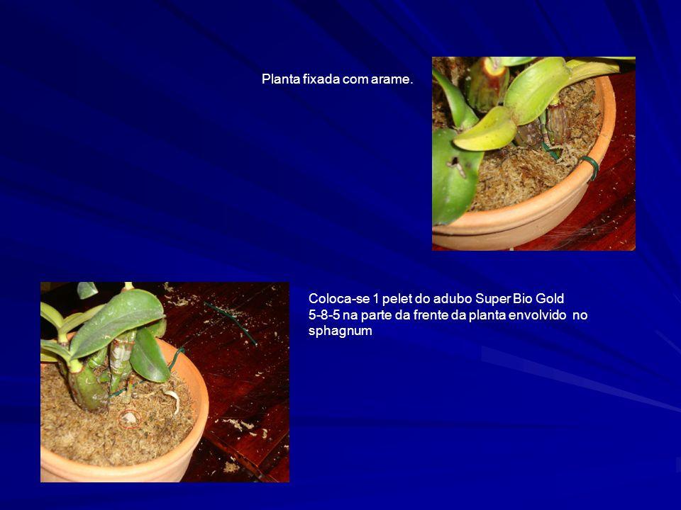Planta fixada com arame.
