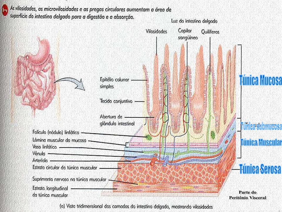 Túnica Mucosa Túnica submucosa Túnica Muscular Túnica Serosa Parte do Peritônio Visceral