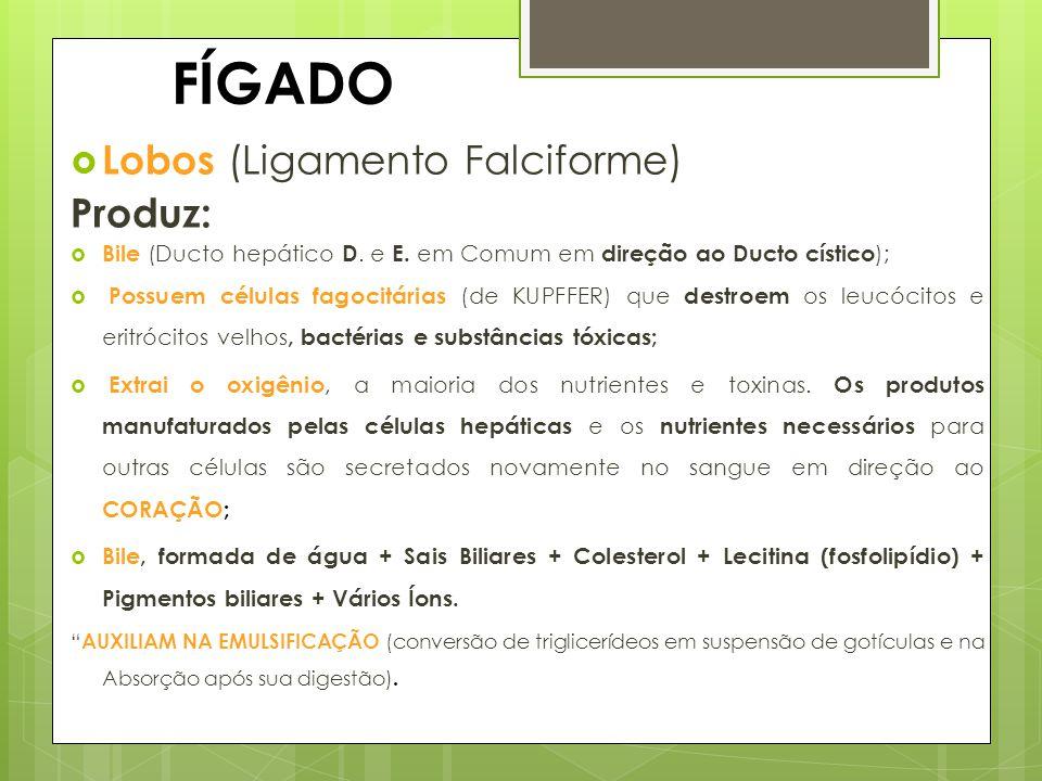 FÍGADO Lobos (Ligamento Falciforme) Produz: