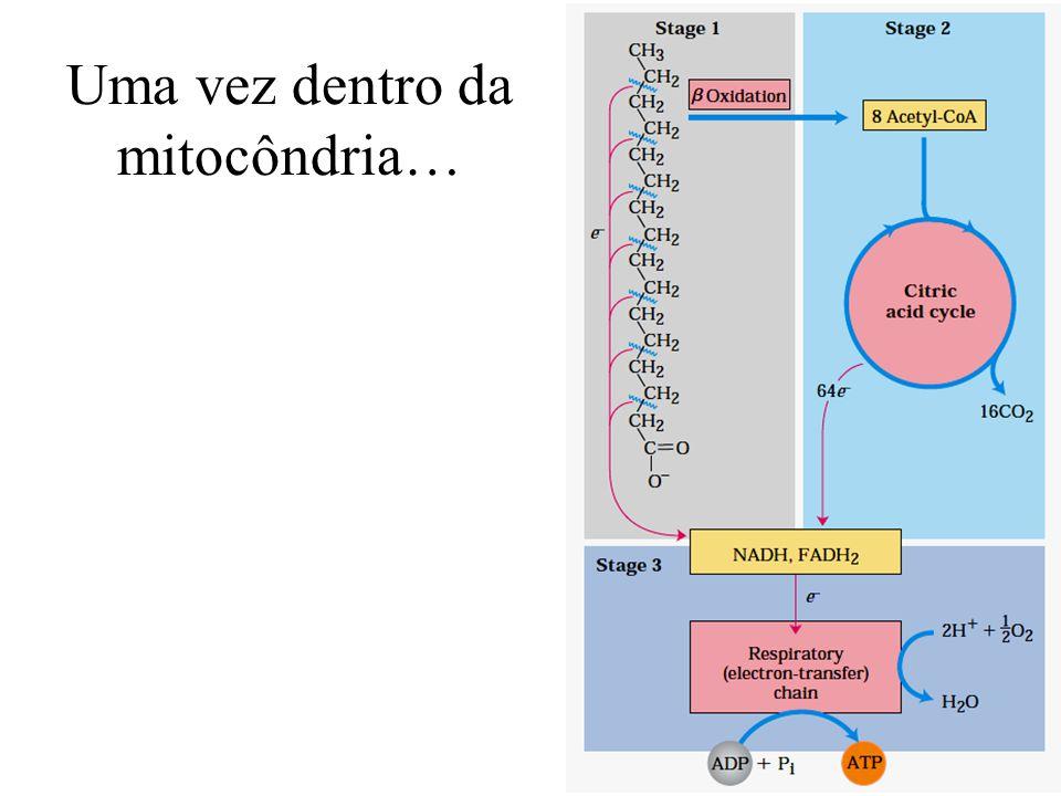 Uma vez dentro da mitocôndria…