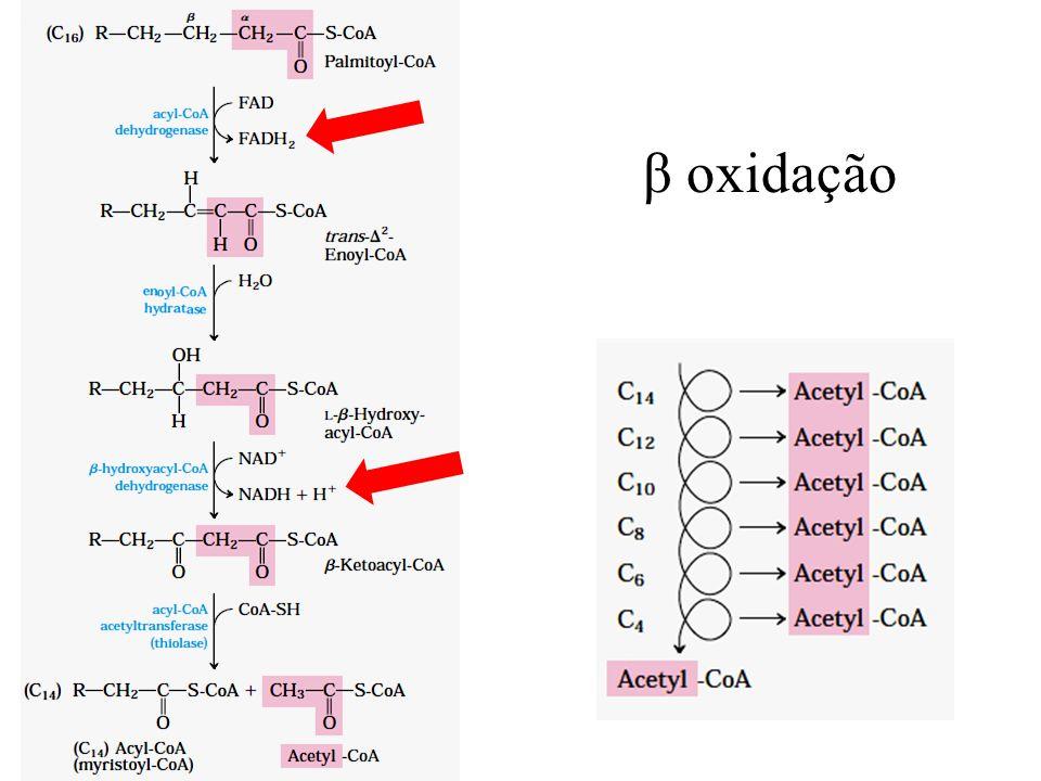 β oxidação