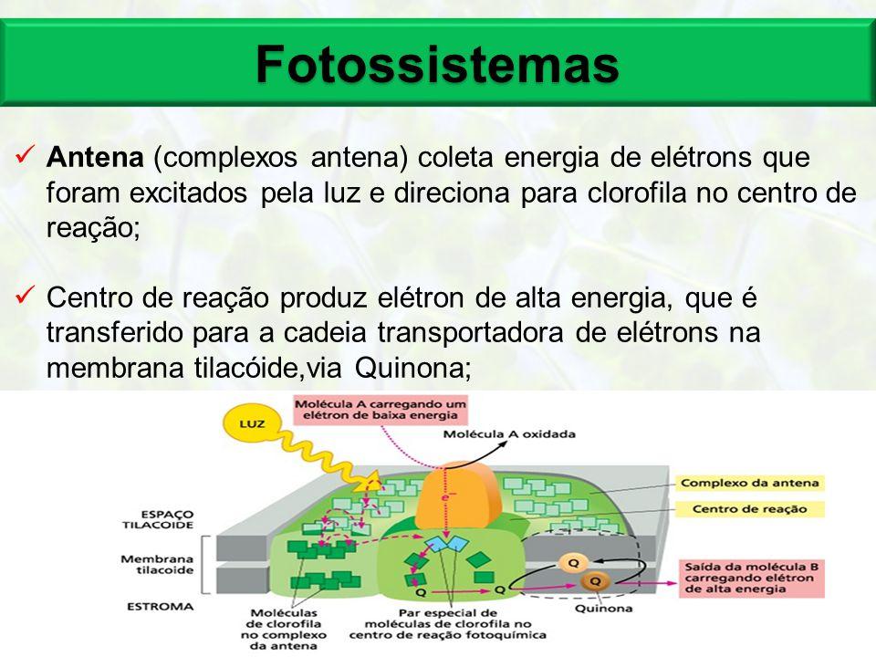 Fotossistemas Antena (complexos antena) coleta energia de elétrons que foram excitados pela luz e direciona para clorofila no centro de reação;