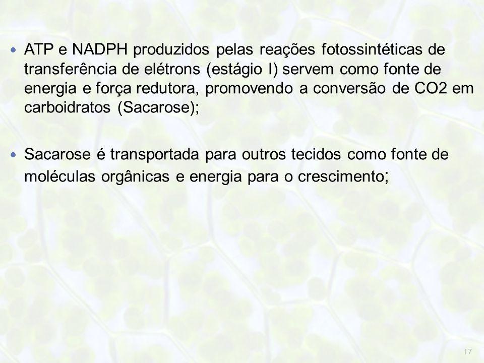 ATP e NADPH produzidos pelas reações fotossintéticas de transferência de elétrons (estágio I) servem como fonte de energia e força redutora, promovendo a conversão de CO2 em carboidratos (Sacarose);