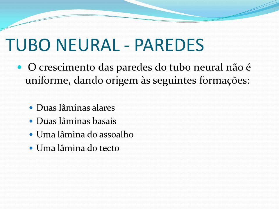 TUBO NEURAL - PAREDES O crescimento das paredes do tubo neural não é uniforme, dando origem às seguintes formações: