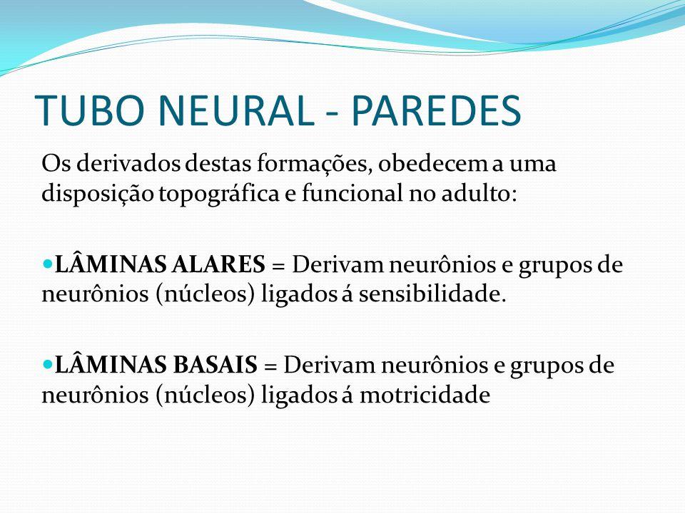 TUBO NEURAL - PAREDES Os derivados destas formações, obedecem a uma disposição topográfica e funcional no adulto: