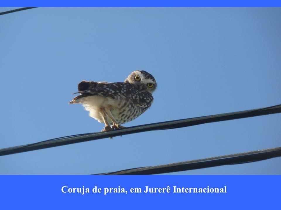 Coruja de praia, em Jurerê Internacional