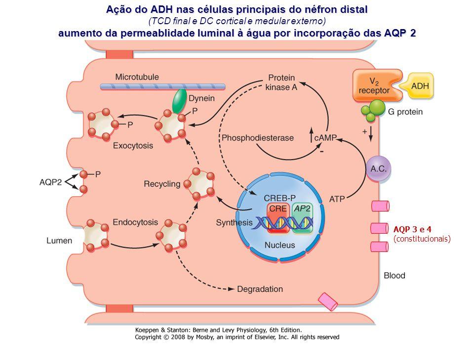 Ação do ADH nas células principais do néfron distal