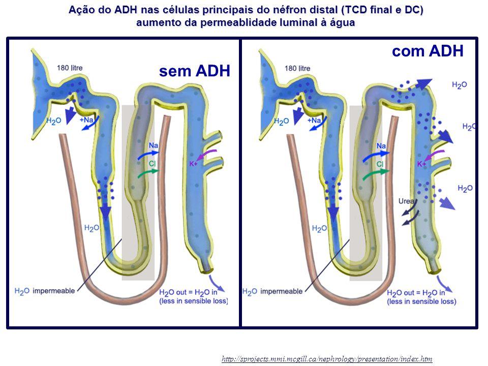 Ação do ADH nas células principais do néfron distal (TCD final e DC)
