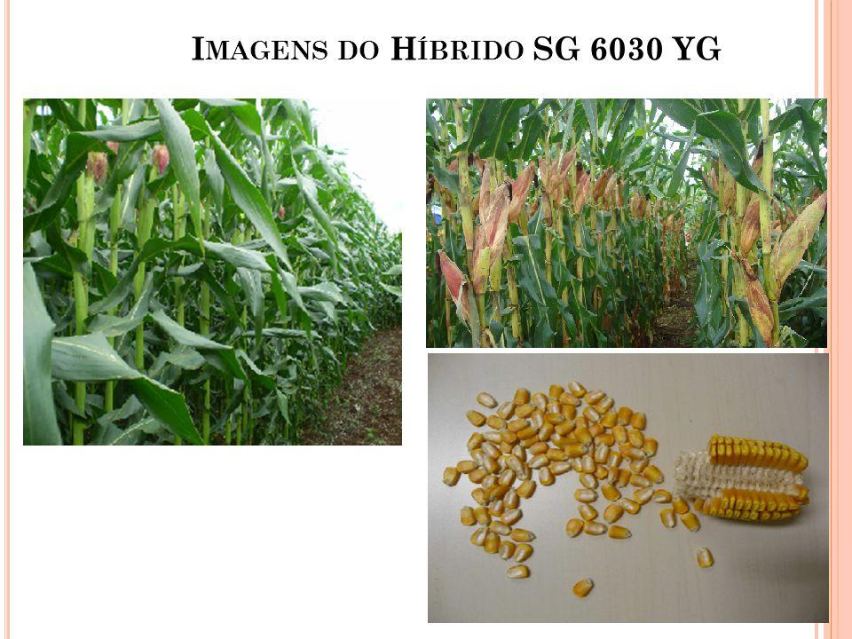 Imagens do Híbrido SG 6030 YG