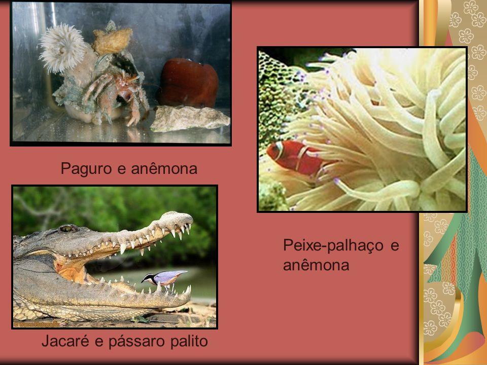 Paguro e anêmona Peixe-palhaço e anêmona Jacaré e pássaro palito