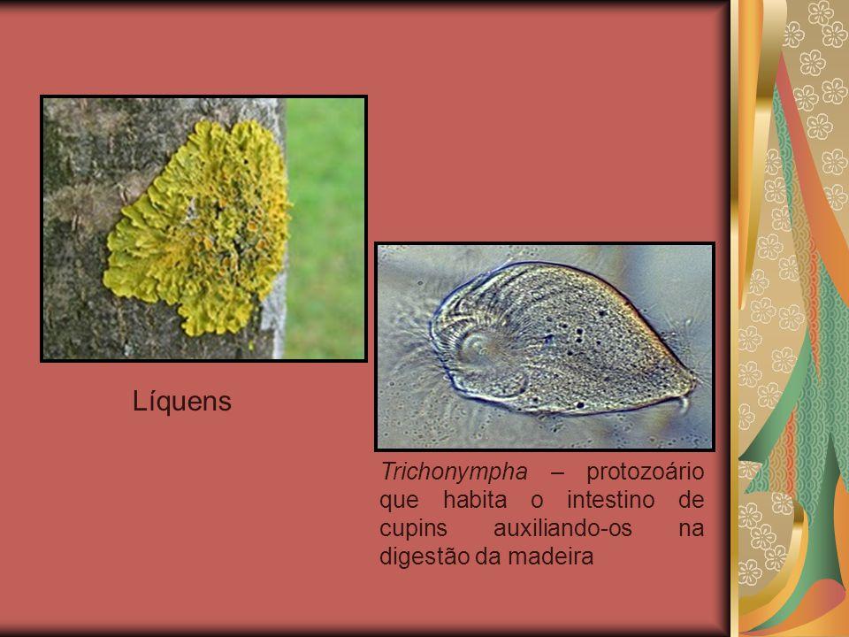 Líquens Trichonympha – protozoário que habita o intestino de cupins auxiliando-os na digestão da madeira.